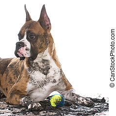 dirty dog with ball - dirty muddy boxer with ball between...