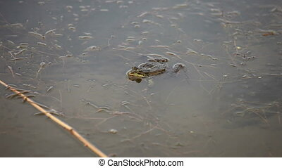 Frog croaking in the pond water