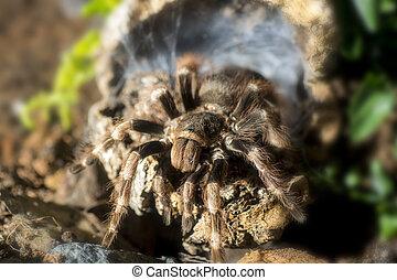 Tarantula Nhandu coloratovillosus adult female at the...