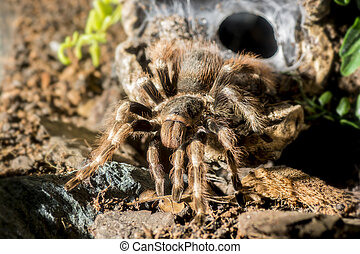 Tarantula Nhandu coloratovillosus adult female at the...