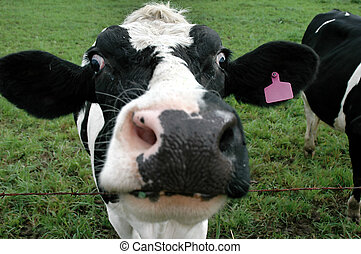 Cow Face - Close-up of a cow\\\'s face