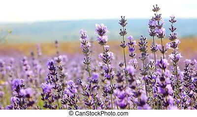 lavender flowers close-up - purple lavender flowers in...