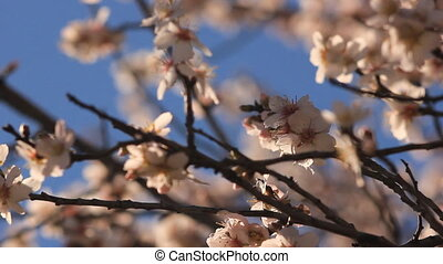 flowering tree on the blue sky with bees flying