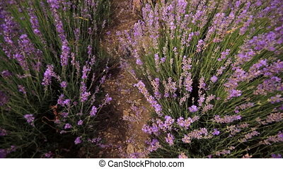 lavender flowers close-up - purple lavender flowers, moving...