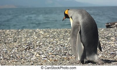 king pinguin near sea - king pinguin standing near sea and...