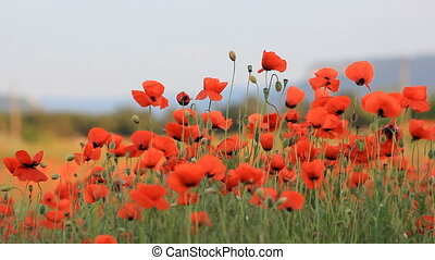 poppy field in summer, close-up