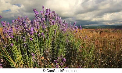 lavender flowers field - purple lavender flowers in summer,...