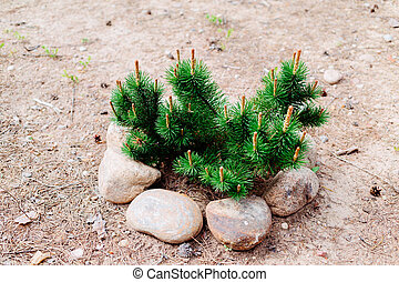 Fir tree branches fenced with stones on sand.