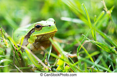 Green frog (Rana ridibunda)