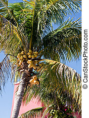 Coconut Palm by Red Building