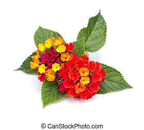 lantana, flores,