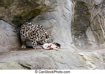 View of a Snow Leopard in Zoo - View of a Snow Leopard in a...