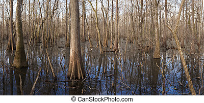 Suwanee river cypress wetland - Cypress wetlands in the...