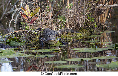 American alligator in natural habitat in the Okefenokee...