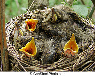 nest - Angry baby birds (starlings) couple of days before...