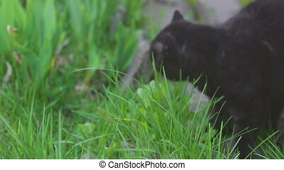 Black Scottish fold cat - Scottish fold black cat eating...