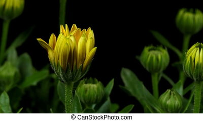 African Daisy Time-lapse - Time-lapse of African DaisyCape...