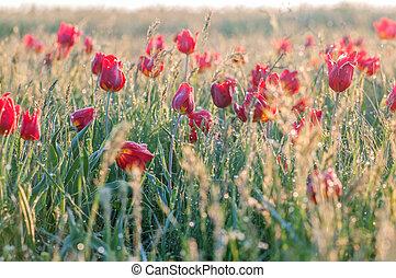 Wild tulip in the field, Rostov region, Russia