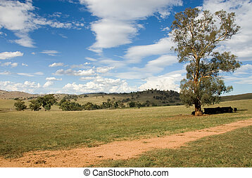 Summer Scene - Cattle resting under a tree on a warm Summers...