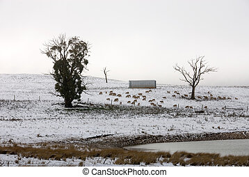 Winter Scene - A snow scene near Laggan, New South Wales,...