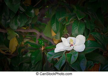 Southern magnolia flower - Bush exotic southern plants with...