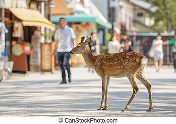 Small deer in the streets of Miyajima island, Japan -...