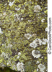 Lichens growing on a stone