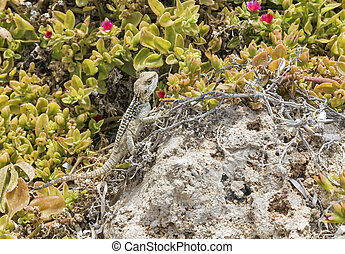 Starred Agama lizard on a rock at the island in Cyprus -...