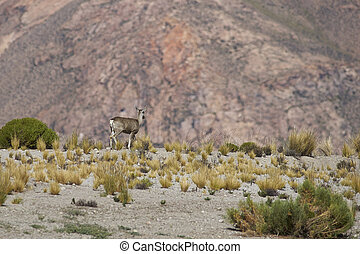 North Andean Deer - Female North Andean Deer Hippocamelus...