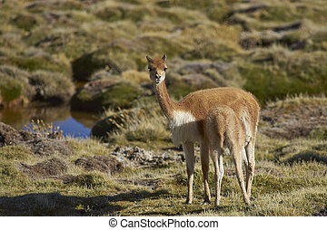 Female Vicuna and Young - Female vicuna Vicugna vicugna...