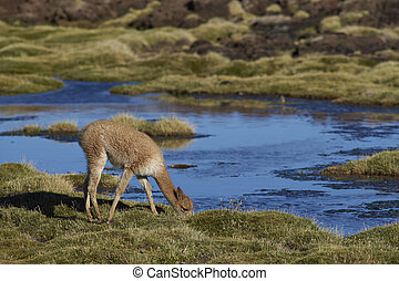 Baby Vicuna - Baby vicuna (Vicugna vicugna) grazing in a...