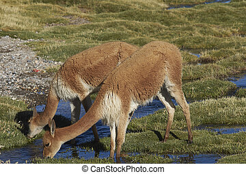Adult Vicuna - Adult vicuna (Vicugna vicugna) grazing in a...