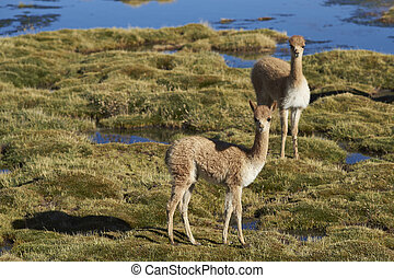 Baby Vicuna in Lauca National Park - Baby vicuna Vicugna...