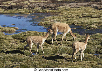 Vicuna in Lauca National Park - Group of adult and baby...