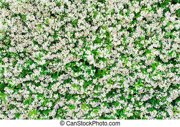 jasmine flower as background