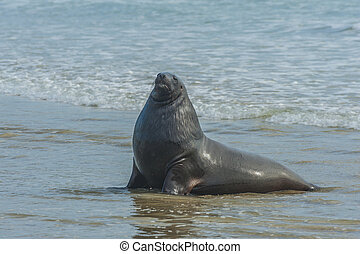 Sea Lion - Adult New Zealand sea lion (Phocarctos hookeri)...