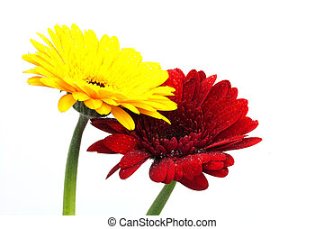Colourful Gerbera daisies on a white background