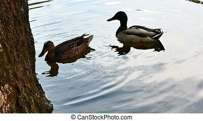 duck in like