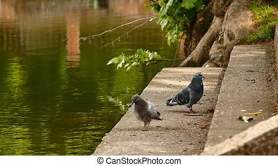 pigeons waterfront