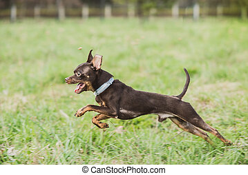 cute russian toy terrier dog jumping in the grass field