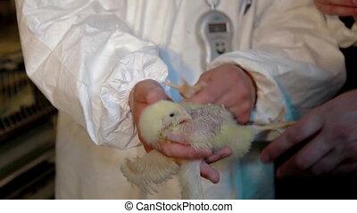 Veterinarian working on chicken farm. Veterinarian doctors...