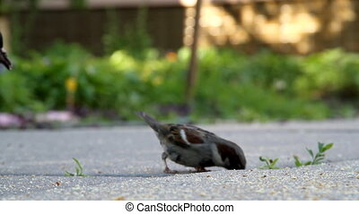 Sparrow at the asphalt