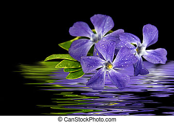 purple myrtle flower reflection - Close up of purple myrtle...
