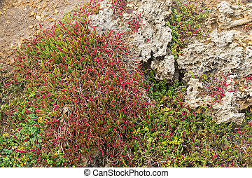 Beaded Glasswort, salt marsh plant, growing on coastal sea...