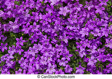 Closeup of vibrant lilac blossoms. - Closeup of vibrant...