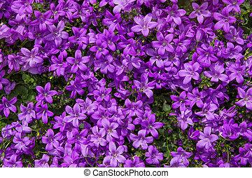 Closeup of vibrant lilac blossoms. - Closeup of vibrant...