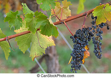 Ripened mature wine grapes growing on limestone coast in Coonawarra winery, during Autumn in Australia