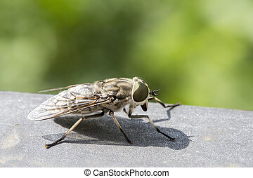 Closeup of a horsefly - Macro view of a horsefly These...