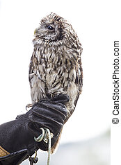 Owl on the hand of a falconer