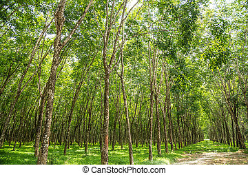 Rubber tree plantation - Rubber tree plantation with rows of...